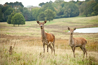 Tatton-Park-Deer-infront-of-Mansion