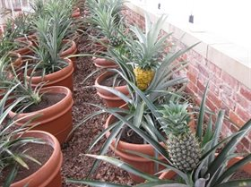 Pineapples growing in Pinery web file
