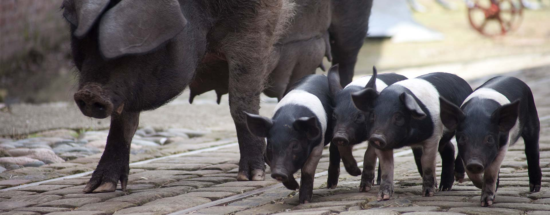 Piglets at the Tatton Park Farm