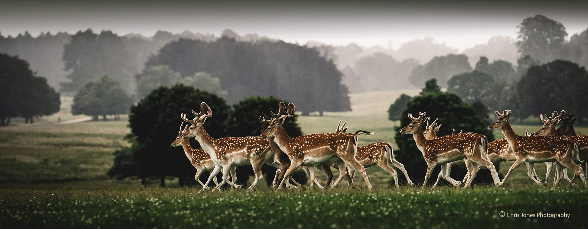 Spotted deer during winter in Tatton Park