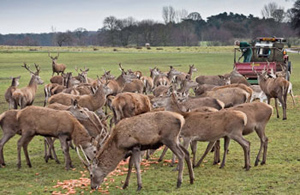 red deer winter feeding - Peter Spooner
